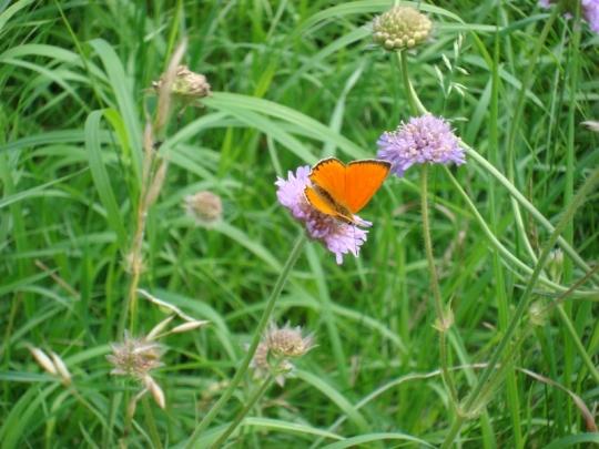 fjärilar 002